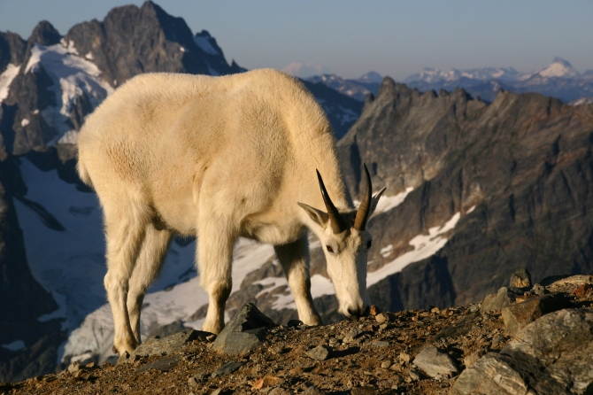 North Cascades Goat