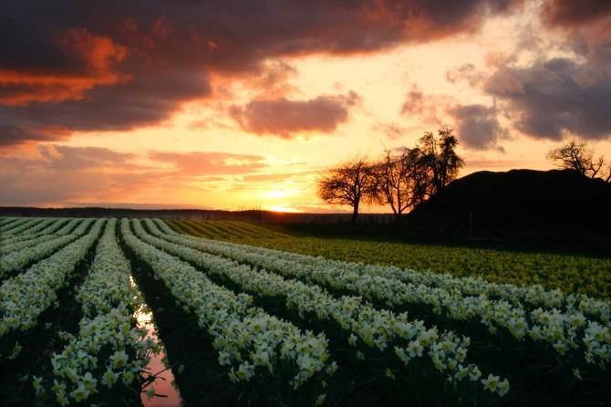 Daffodil Sunset