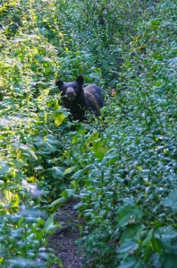 Bear on the PCT