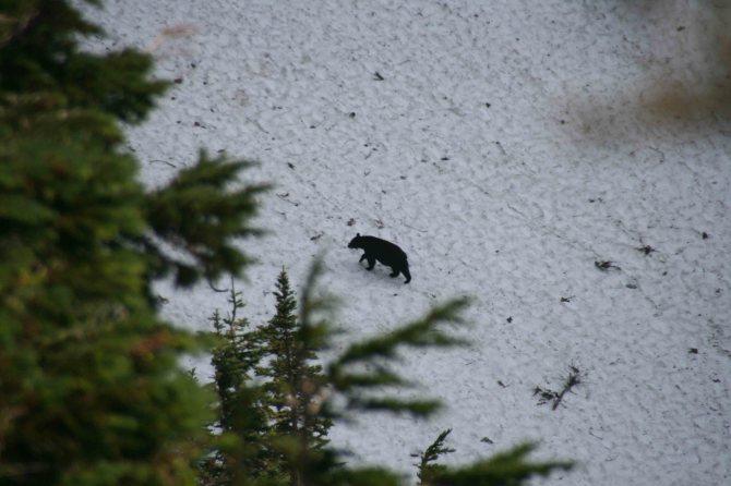 Bear crossing Park Creek Pass