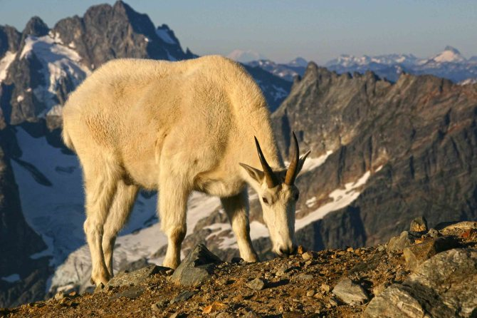 andyporter_Mountain goat at Sahale Glacier Camp, North Cascades National Park