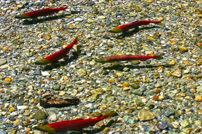 Chilliwack Salmon