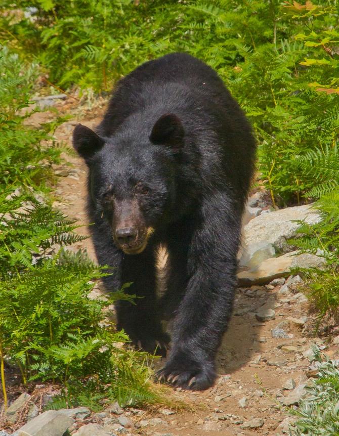 Bear at Horseshoe Basin