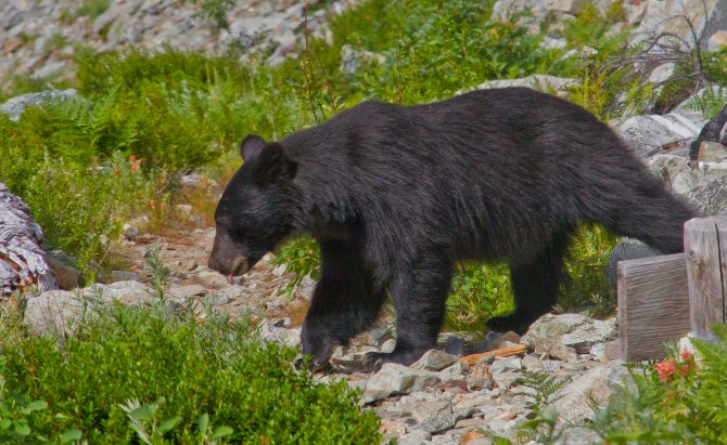Bear at Horseshoe Basin 1