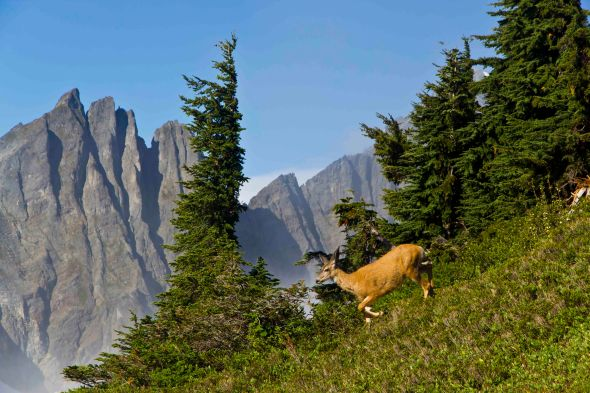 Deer at Cascade Pass