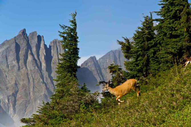 Deer at Cascade Pass
