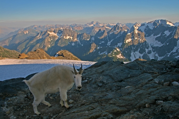 Mountain Goat at Sahale Camp, North Cascades National Park