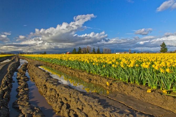 daffodil muddy rows f