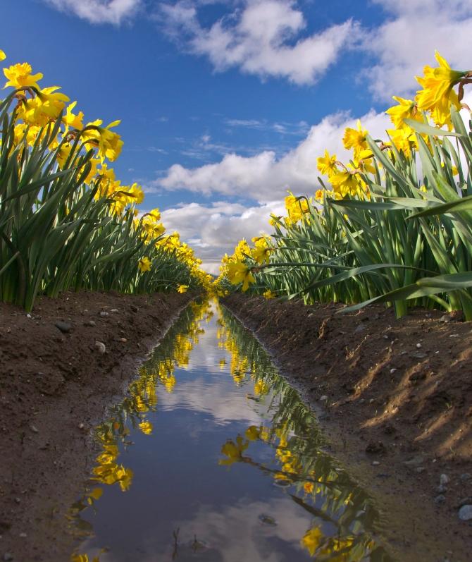 daffodil rows