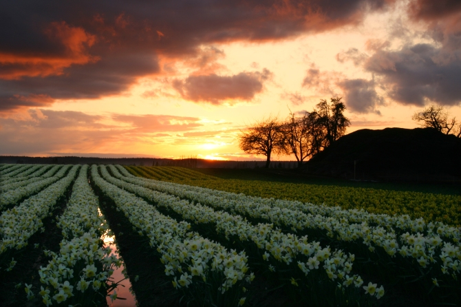 Daffodils at Sunset, Skagit Valley Tulip Festival