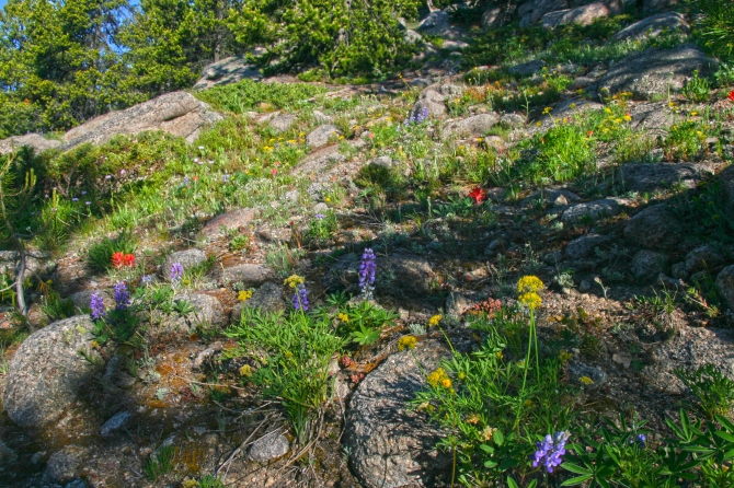 Wildflower Rock Garden along the Pacific Northwest Trail