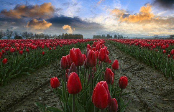 Red Tulips, Blue and Orange Sky