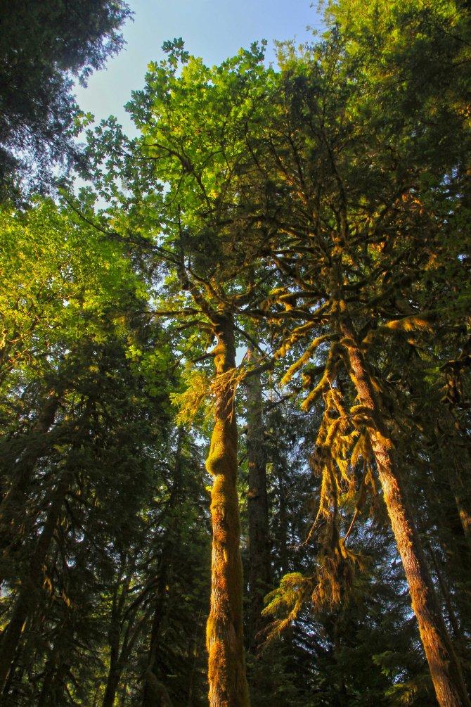 Baker River trees
