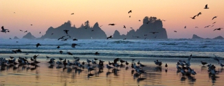shi shi beach seagul sunrise