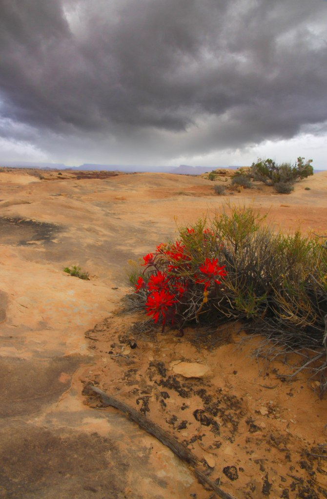 Canyonlands, Flowers