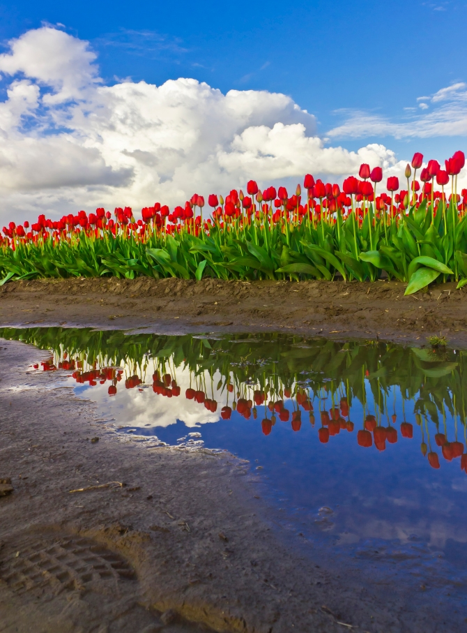 Red Tulips Reflected, Skagit Valley