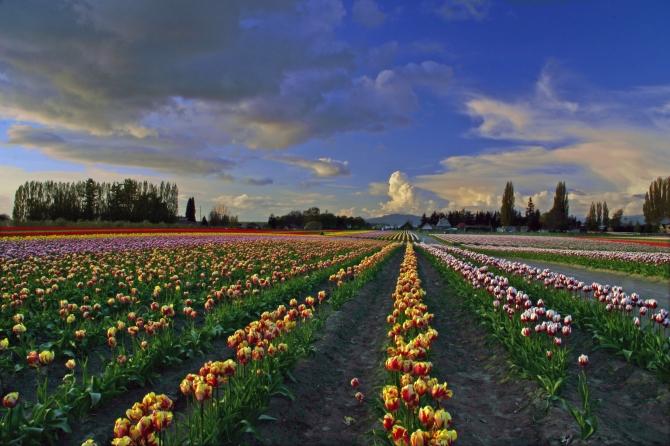 Skagit Valley Tulip Festival 11 rev