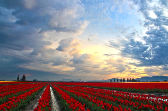 Sunrise at Skagit Valley Tulip Festival