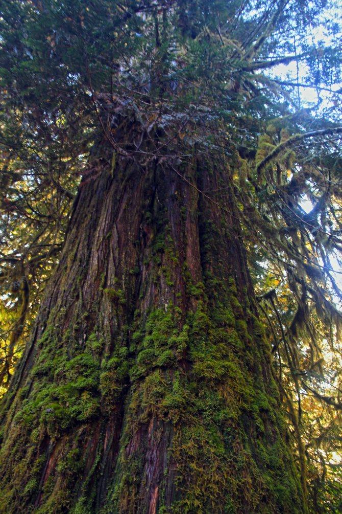 big tree em