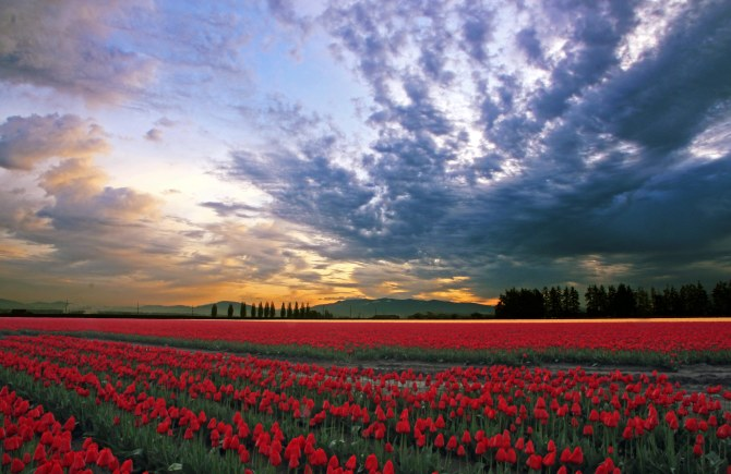 Early Morning, Skagit Valley Tulip Fields1em