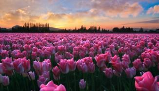 Orange sky, pink tulips
