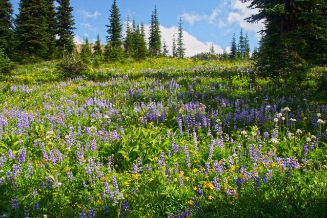 Wildflowers in the Pasayten Wilderness em