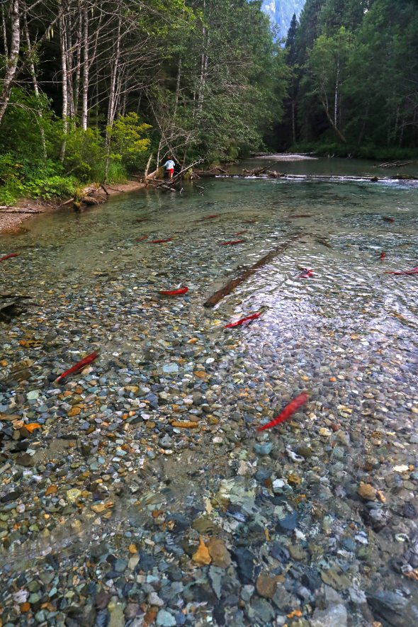 chilliwack salmon