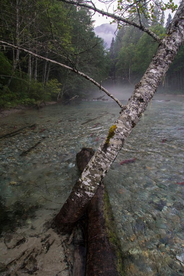 north cascades salmon crossing