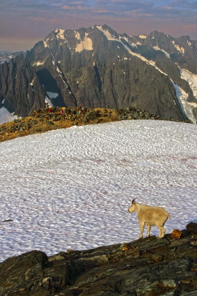 Goat on Sahale Arm  North Cascades National Park