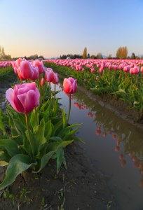 pink tulips em