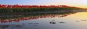 Row of Red Tulips em
