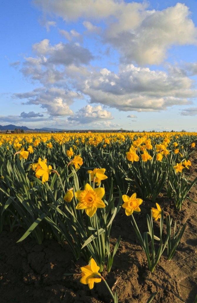 Skagit Valley Daffodils em