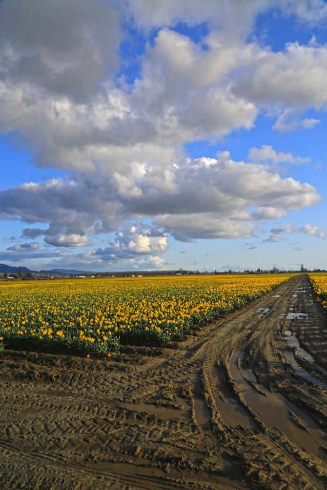 Skagit Valley Daffodils2em