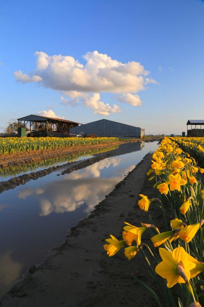 Skagit Valley Daffodils3em
