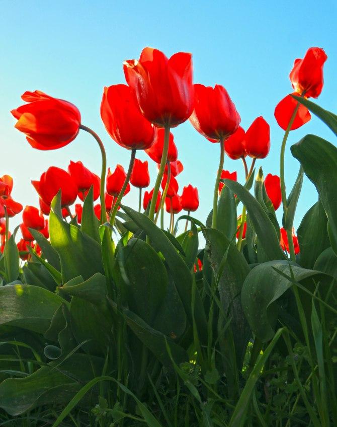 Tulips 1em