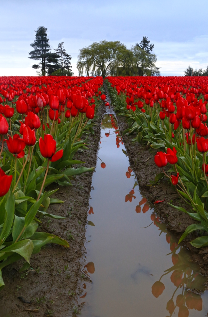 Tulips 3em
