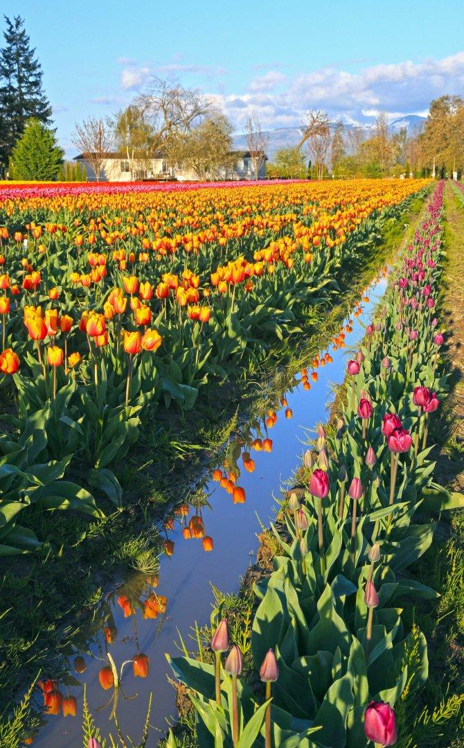 Tulips 4em