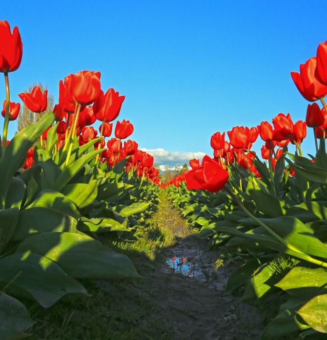 Tulips 7em