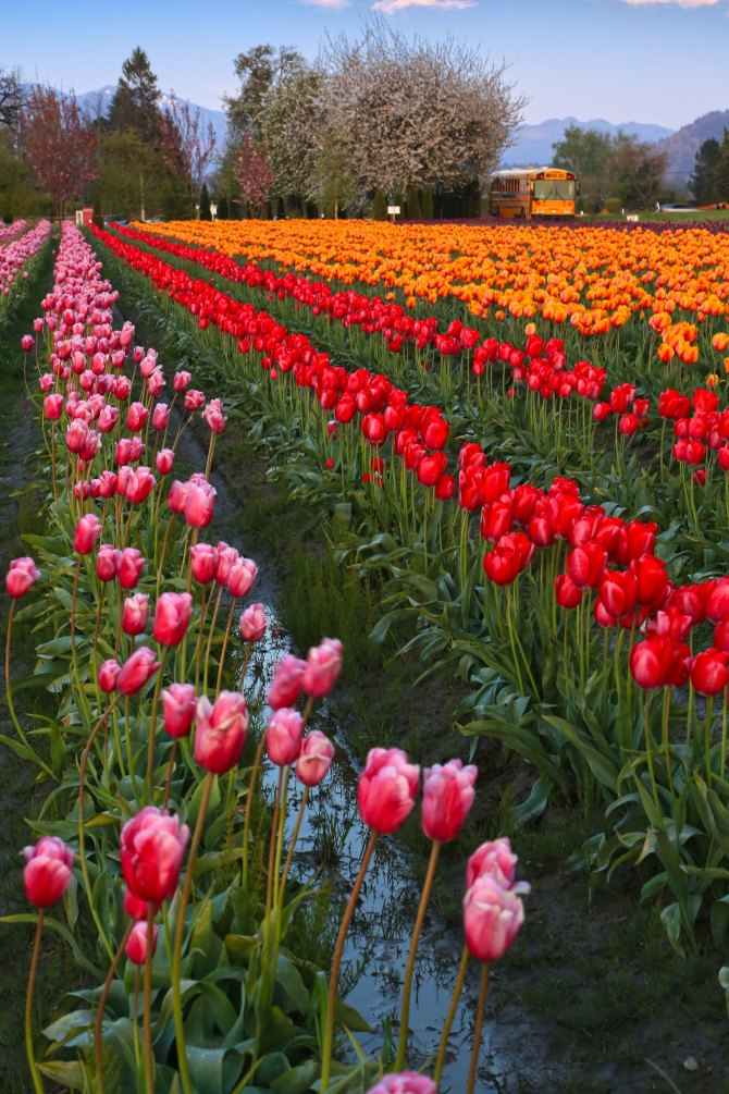 tulips and bus em