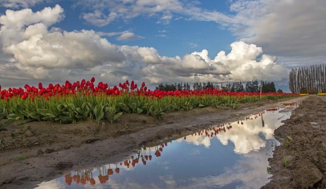 tulips 2014 3em