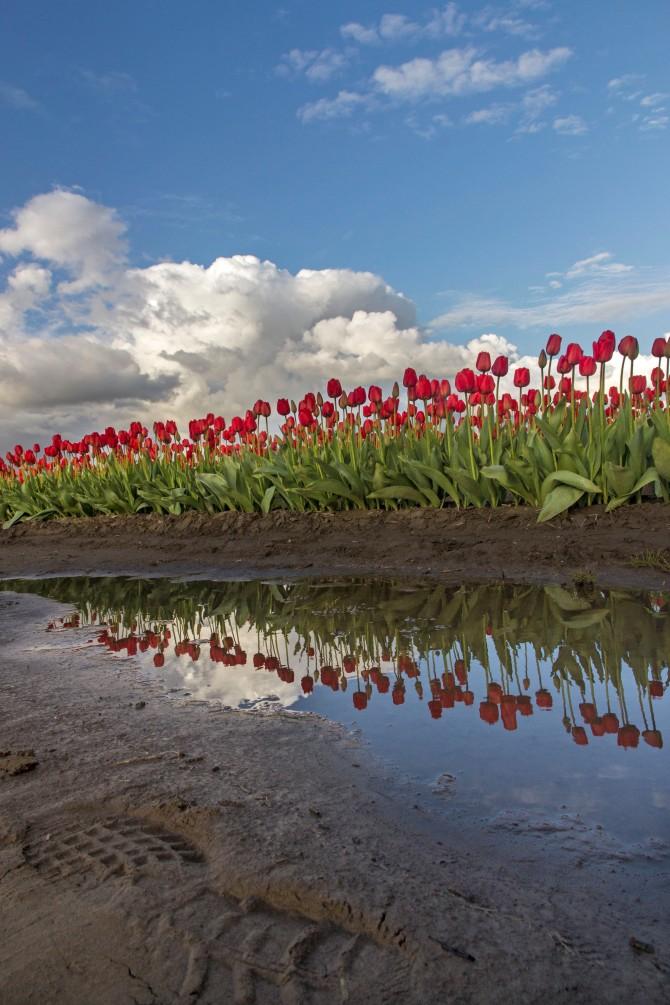 tulips 2014 4em