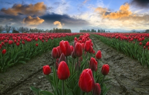 red tulips blue and orange sky