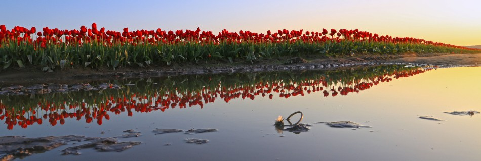 Row of Red Tulips em