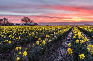 daffodils 3em