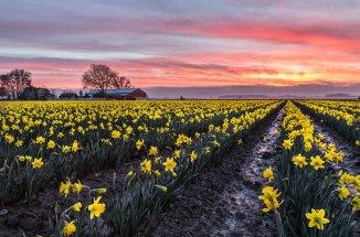 daffodils-3m