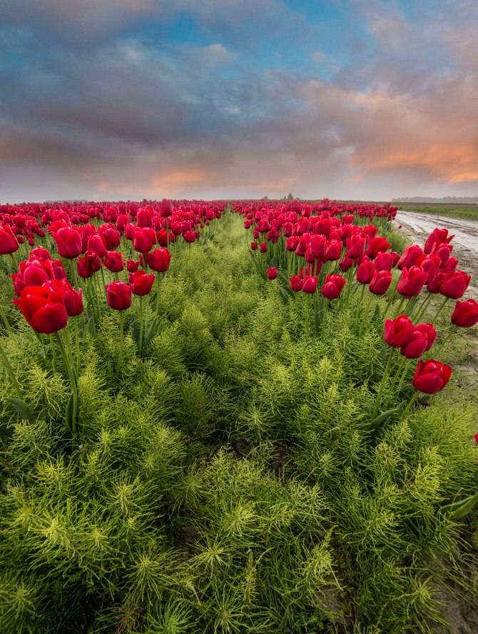 rows-tulips-2a1a1a