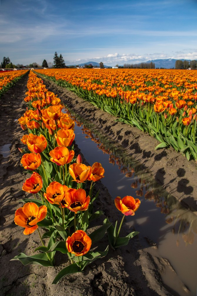 rows-tulips-3m
