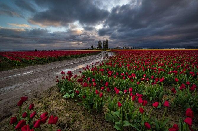 tulips-10m