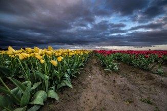 tulips-3m