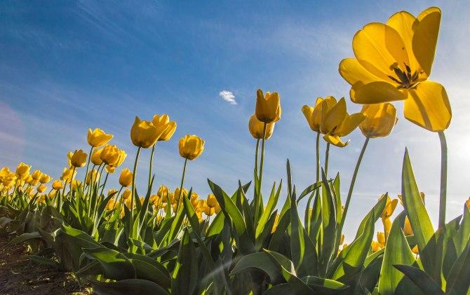 tulips-6m